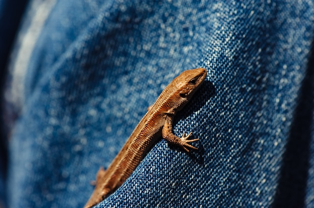 Little brown lizard crawling on a denim jacket clad person.
