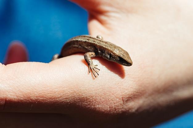 Little brown lizard in a female hand closeup