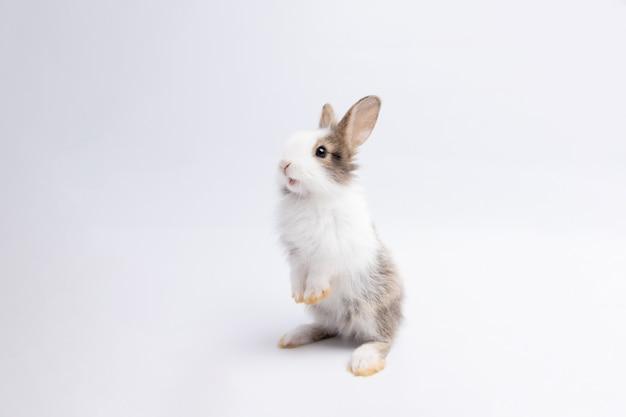 Маленький коричневый кролик, стоящий на изолированном белом фоне в студии. его мелкие млекопитающие в семействе leporidae отряда.