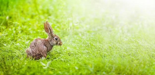 초원에 작은 토끼. 태양열 아래 푸른 잔디. 와이드 배너