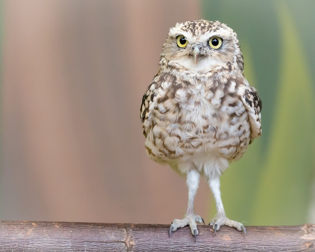 Little burrowing owl standing on a brown log