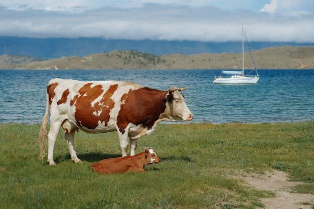 ヤクスを背景に野原にいる子牛と母牛