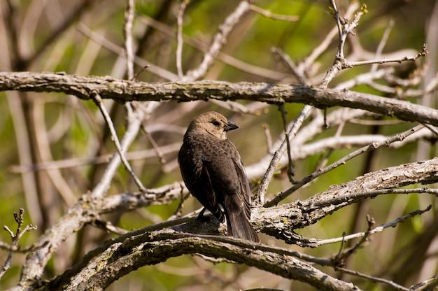 木の枝に小さなカナダミネソタ州の雌の茶色の頭の鳥
