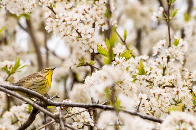 春の梅の茂みの枝に小さなカナダミネソタパームウグイス鳥