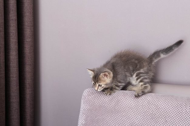 Little cat playing on the sofa. little cute fluffy cat.