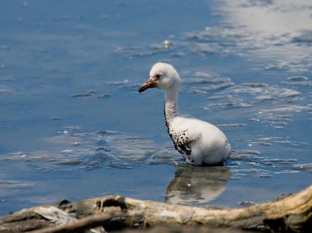 Маленький цыпленок карибского фламинго. куба.