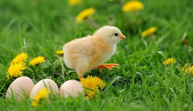 Маленькая курица и яйцо в траве на ферме