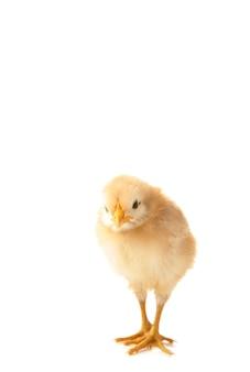 白いbaclgroundで分離された小さな鶏。上面図