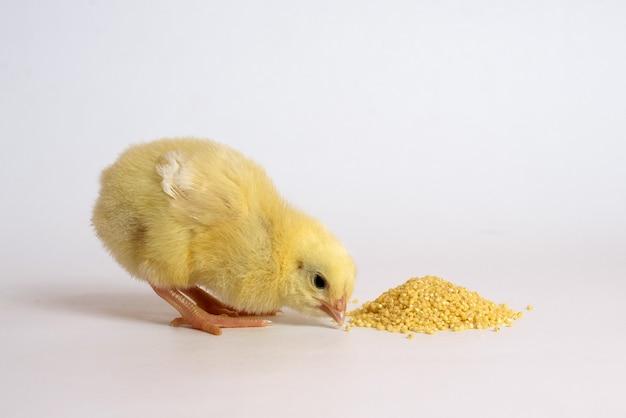 白で隔離の小さな鶏