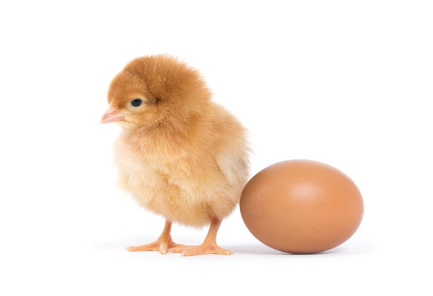 分離された小さな鶏