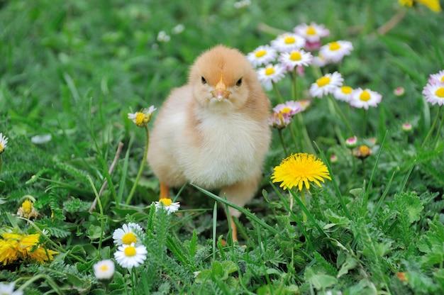 Маленький цыпленок на зеленой траве.