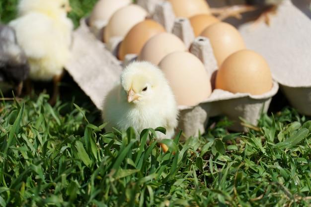 푸른 잔디에 작은 닭과 계란 트레이