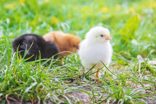 緑の芝生に小さな鶏。イースター。セレクティブフォーカス