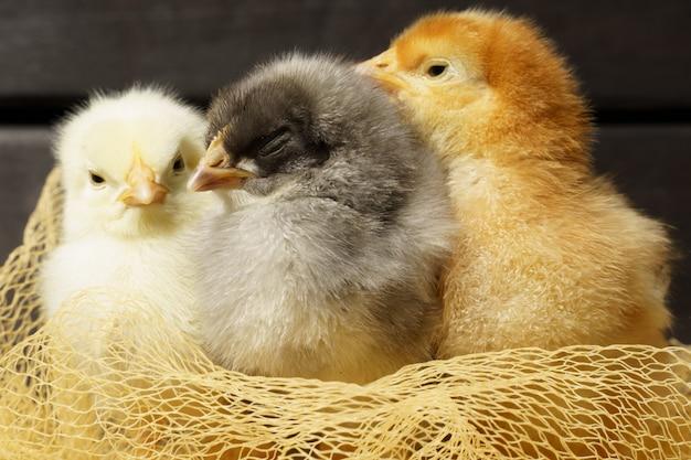어두운 나무 테이블 새에 작은 닭은 메쉬로 만든 둥지에 앉아
