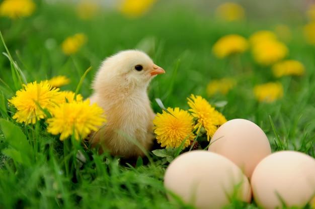 잔디에 작은 닭