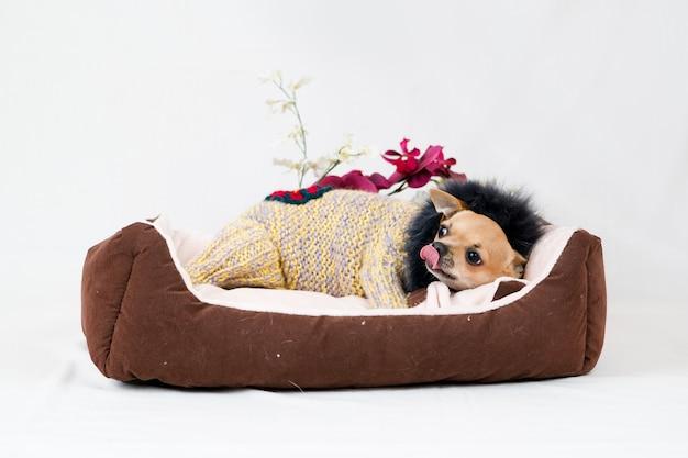 침대에서 작은 치와와 강아지