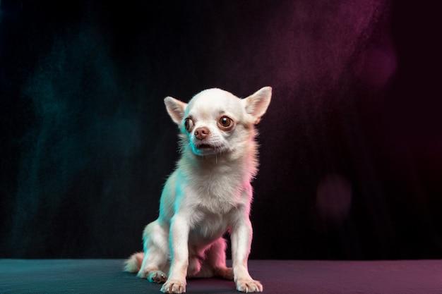 小さなチワワ犬がポーズをとっています。ネオン色の背景で隔離のかわいい遊び心のある白いクリーム犬やペット。動き、動き、ペットの愛の概念。幸せ、喜び、おかしいように見えます。デザイン用のコピースペース