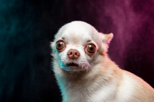 小さなチワワ犬がポーズをとっています。煙の雲のネオン色の背景に分離されたかわいい遊び心のある白いクリームの犬やペット。動き、動き、ペットの愛の概念。幸せ、喜び、おかしいように見えます。