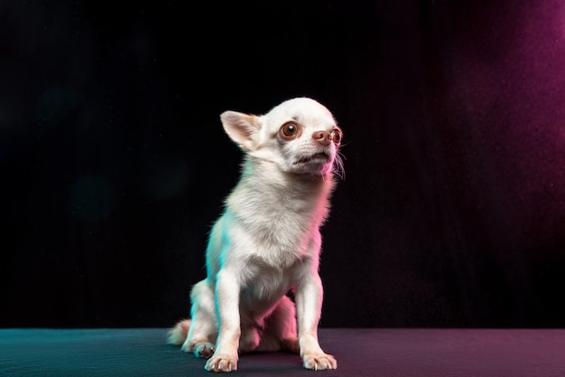 Little chihuahua dog is posing. cute playful white creme doggy or pet isolated on neon colored background. concept of motion, movement, pets love. looks happy, delighted, funny. copyspace for design