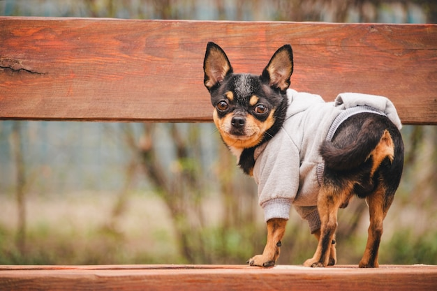 Маленькая собака чихуахуа на скамейке. милый домашний питомец на открытом воздухе. чихуахуа в парке в одежде.