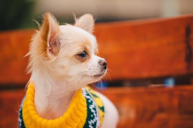 Маленькая собака чихуахуа на скамейке. милый домашний питомец на открытом воздухе. щенок чихуахуа в парке в одежде.