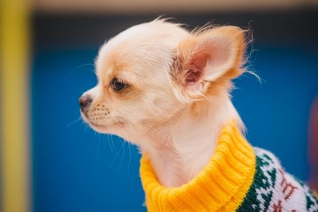 벤치에 작은 치와와 강아지. 귀여운 국내 애완 동물 야외. 옷에 공원에서 치와와 강아지입니다.