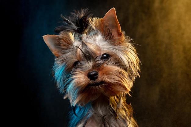 Piccolo cane chihuahua in posa come cervi di natale isolati su sfondo bianco.