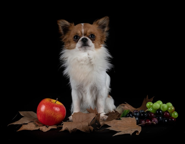 Little chihuahua in front of black background