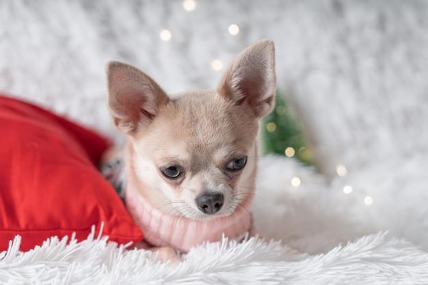 毛布の上で寝ているセーターの小さなチワワ