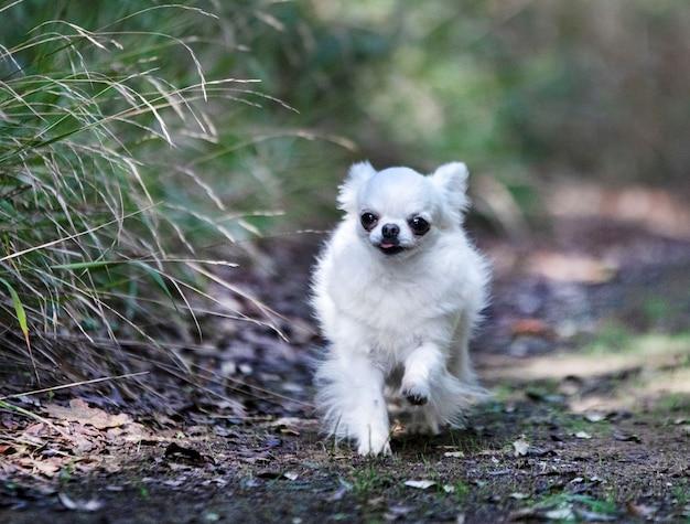 Маленький чихуахуа на природе