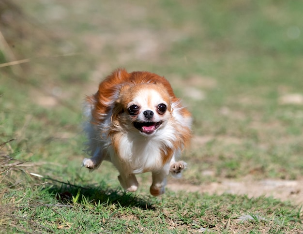 Little chihuahua running in the nature