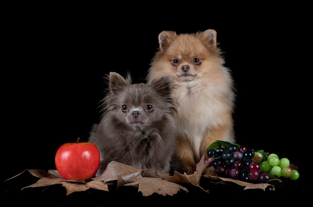 Little chihuahua and spitz