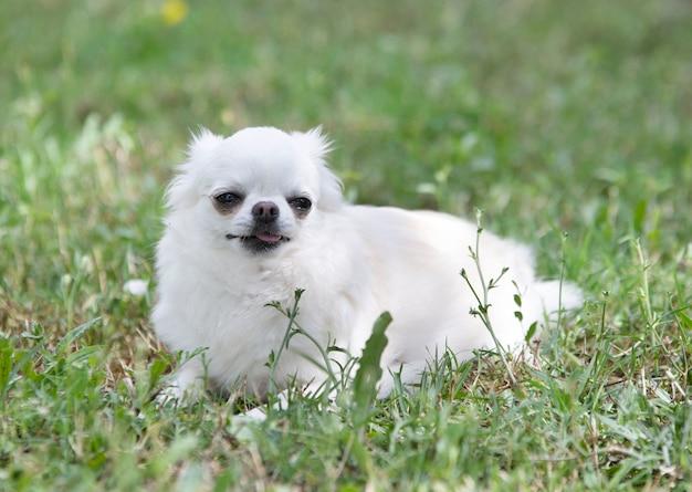 Маленький белый чихуахуа играет на природе