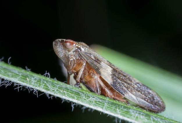Little cicada on a leaf of a grass