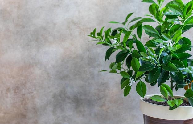 Маленькое цитрусовое дерево или каламондин в горшочке апельсиновый мандарин или мандариновое дерево