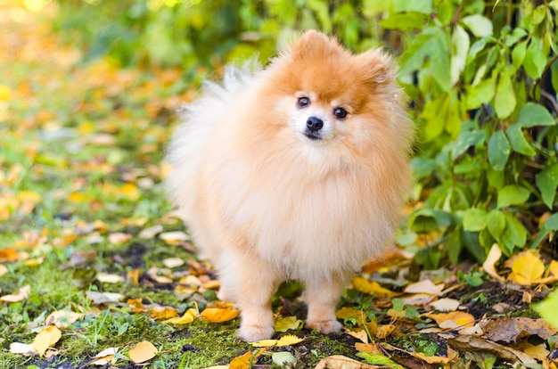 Little clever pomeranian looking on owner. dog obediently carries out the training command. portrait of fluffy german spitz puppy