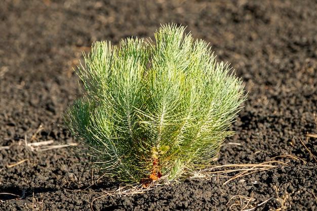 Little coniferous growing on volcanic soil