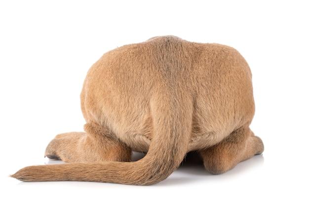 Маленький щенок корсо