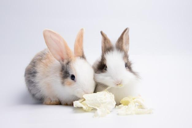 Маленькая пара белый и коричневый кролик ест капусту на изолированном белом или старом фоне розы в студии. его мелкие млекопитающие в семье leporidae порядка