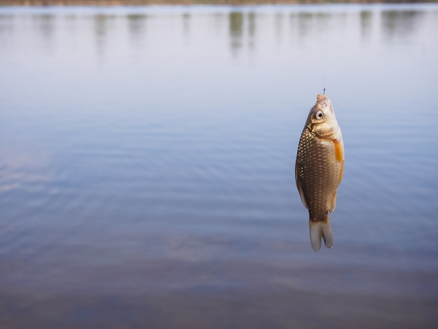 Little crucian hanging on a hook above the water