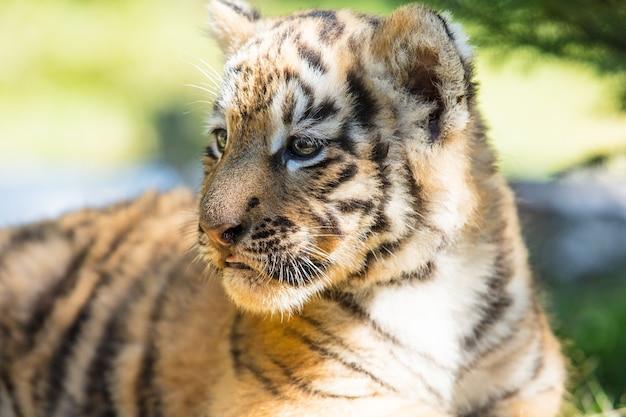 Маленький тигренок в дикой природе на траве милый и забавный