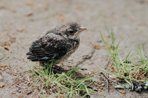 Little cuckoo chick in the forest in nature