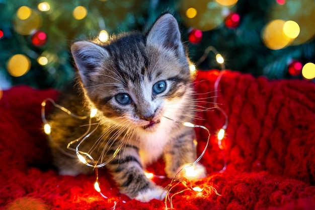 Little curious funny striped kitten plays with christmas lights garland on festive