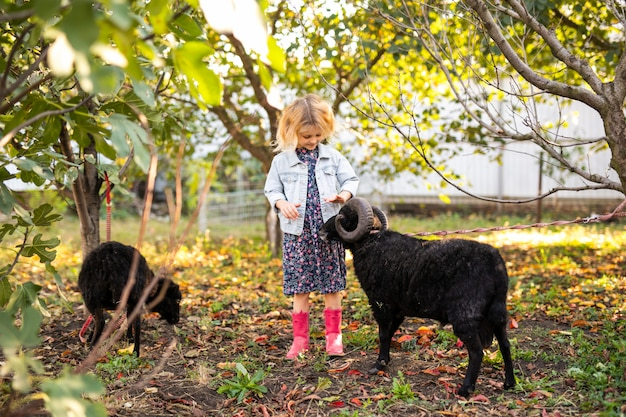 Little curly blonde girl in denim jacket and pink boots feeding two black domestic sheep in country garden. farmer's life concept