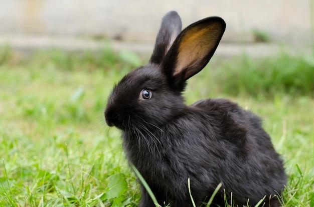 緑の芝生の上にかわいい黒いウサギが座っています。ホームウサギの繁殖、選択的な焦点