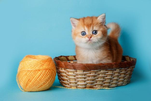 Маленький милый котенок британской шинциллы в плетеной корзине с оранжевыми нитками