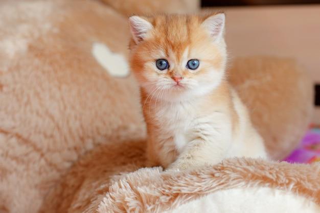 Маленький милый котенок британской шинциллы на диване