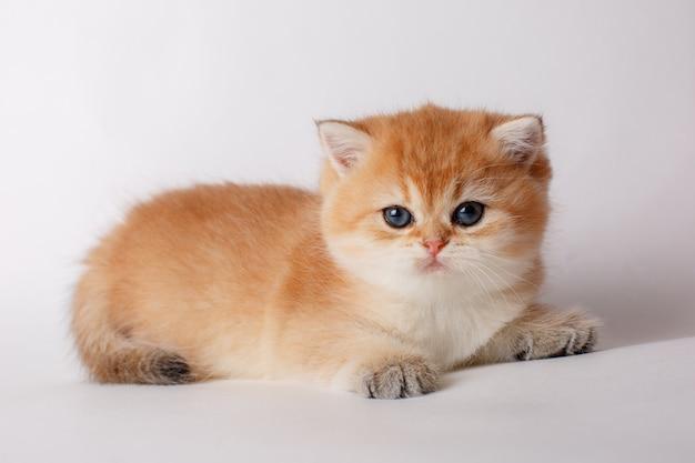 Маленький милый котенок британской шинциллы