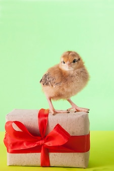 Маленькие милые цыплята играют рядом с подарочной коробкой с лентой на зеленом фоне