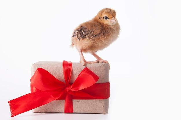 Маленькие милые цыплята играют рядом с подарочной коробкой с лентой на белом фоне